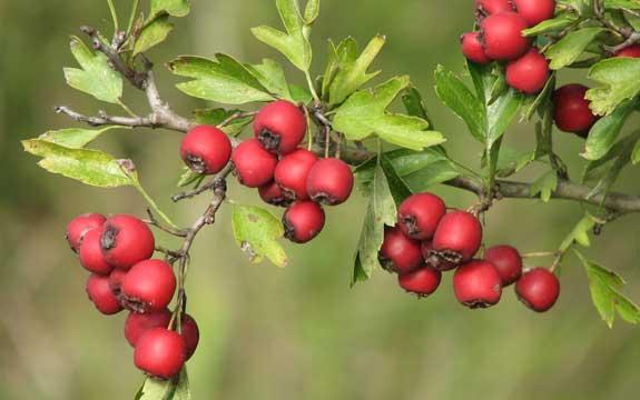 Les plantes sauvages aux 4 saisons près de chez nous - Automne